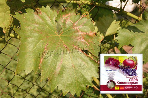 Опрыскивание раствором коллоидной серы винограда больного Антракнозом делается до или после цветения только на начальной стадии заболевания