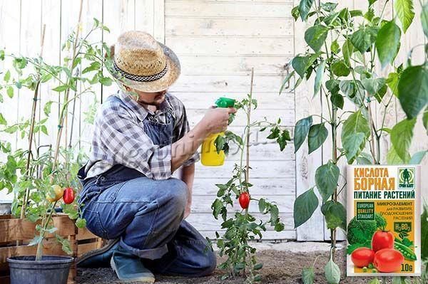 Опрыскивание томатов по листу проводится исключительно на закате или ранним утром