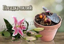 Посадка лилий