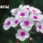Цветы Флоксы многолетние