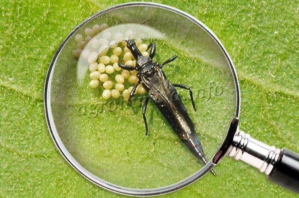 Трипсы – это небольшие насекомые с тельцем длиной 0,05-0,3 см