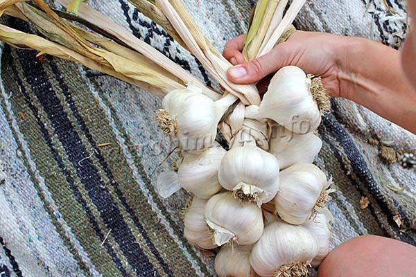 В плетеной косе чеснок хранят с незапамятных времен