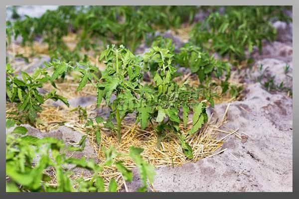 Во время посадки ростки томатов нельзя загущать