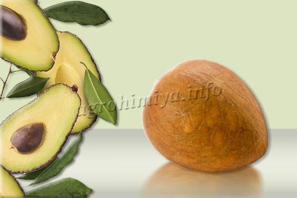 Чтобы получить посадочный материал, для выращивания авокадо, необходимо просто купить плод в магазине и достать из него косточку