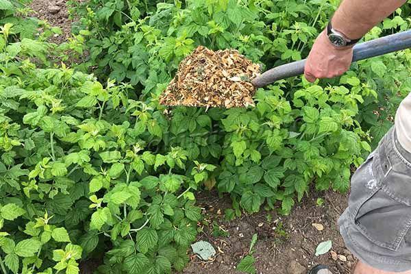 Чтобы снизить количество поливов, можно мульчировать посадки