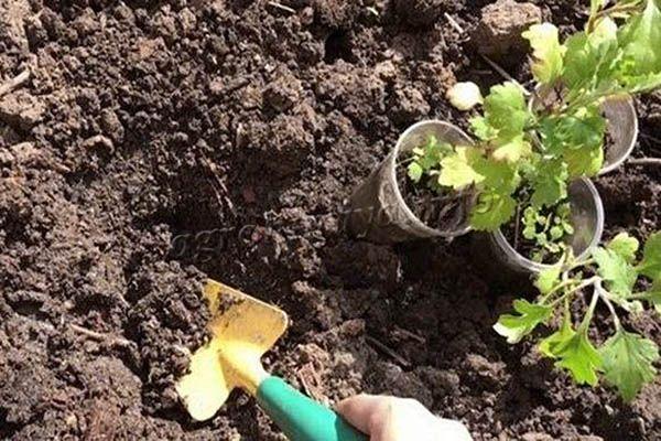Если за саженцами правильно ухаживать, размножение хризантемы черенками пройдет без проблем