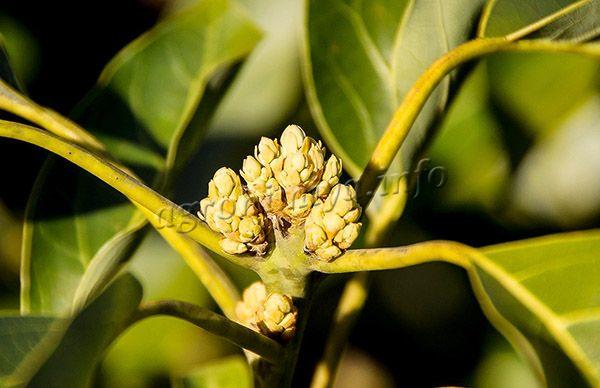 Фото цветения авокадо