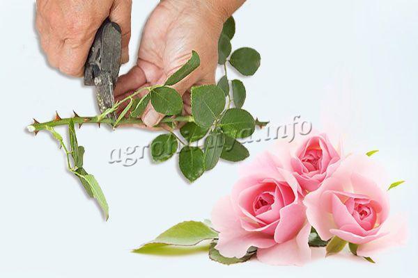 Из купленной розы сделать молодой саженец не трудно
