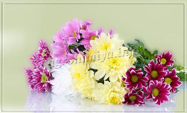 Мелкоцветные сорта хризантем укореняются намного быстрее крупноцветковых