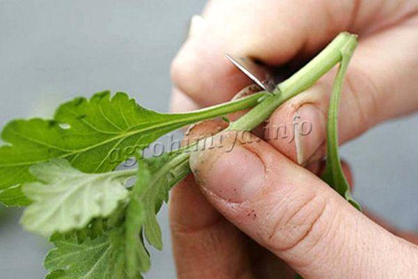Окрепшие веточки хризантем нарезают длиной 10-15 см