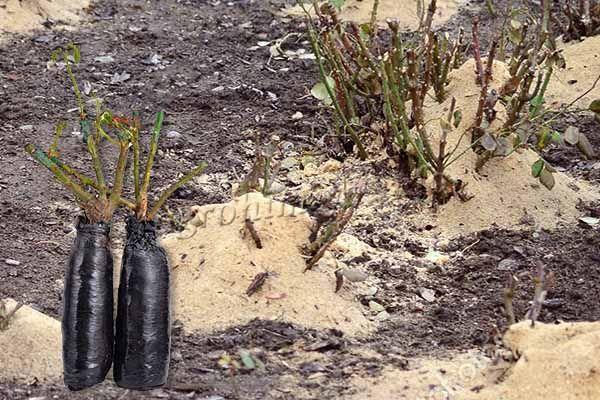 Осенью после обрезки роз появляется много подходящих веточек, которые можно использовать в качестве черенков