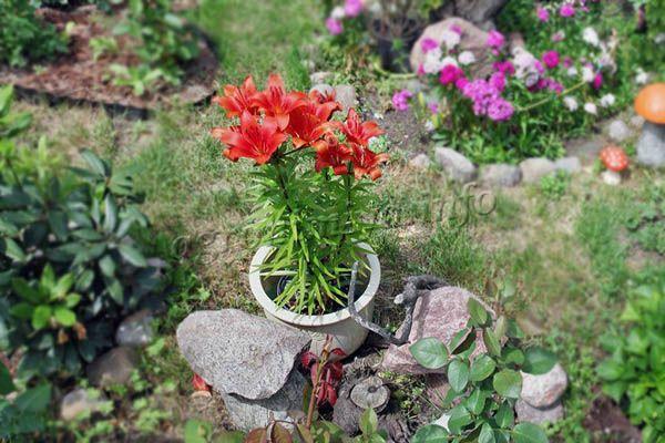 Пересадка лилий во время цветения проводится крайне редко