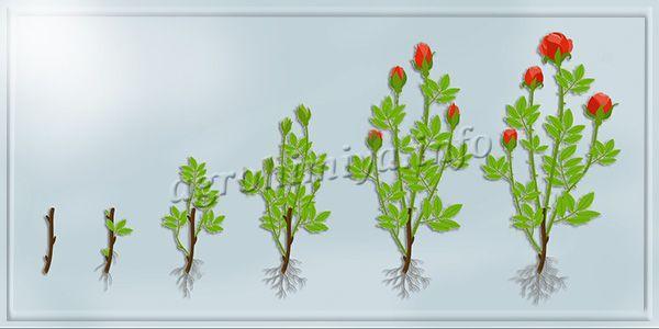 Процесс выращивания розы из черенка