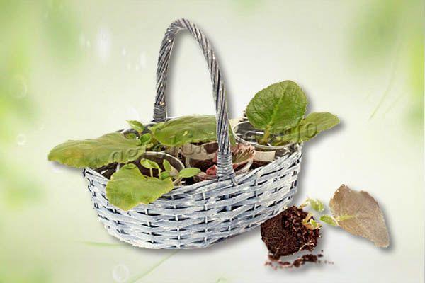 Сажать листочки с корешками стоит изначально в небольшие стаканчики