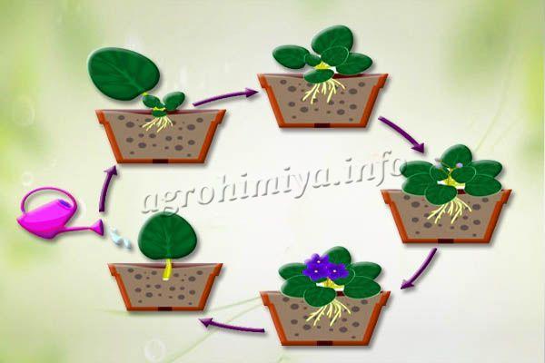 Схема проращивания листика фиалки