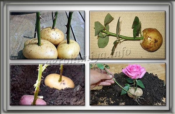 Укоренять черенки розы можно не только в земле, но и в картошке