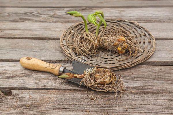 Все хорошие луковицы чистят от мертвых чешуек и вымывают в легком растворе марганцовки