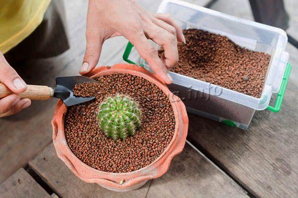 Чтобы кактус быстрее прижился в новом горшке, необходимо учитывать его видовые особенности