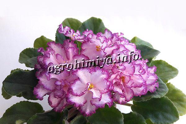 Если вовремя проводить пересадку, фиалка будет радовать ярким пышным цветением и нарастит массивную листву
