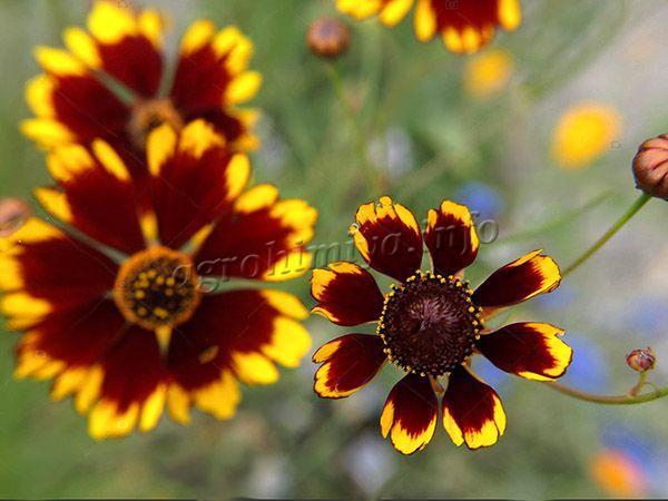 Фото Кареопсиса (Coreopsis tinctoria)