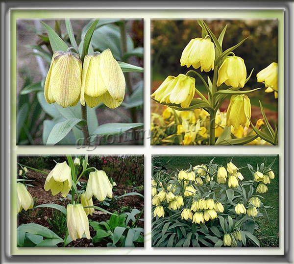 Фото Рябчика Бледноцветкового (Fritillaria pallidiflora)