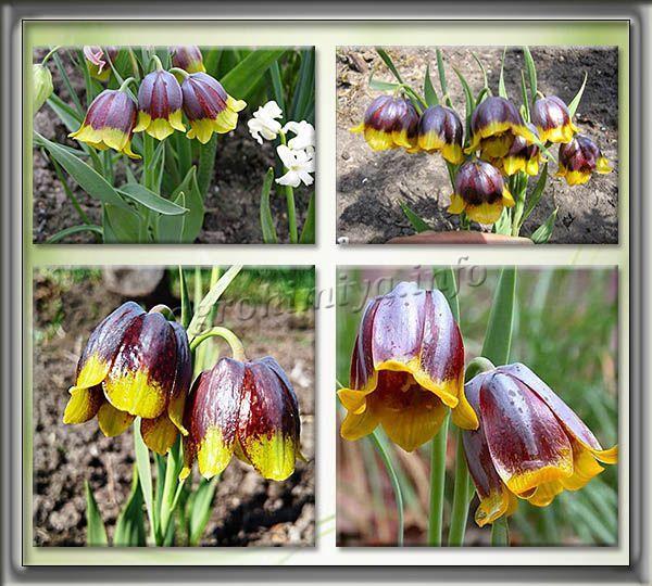 Фото Рябчика Михайловского (Fritillaria michailowskyi)