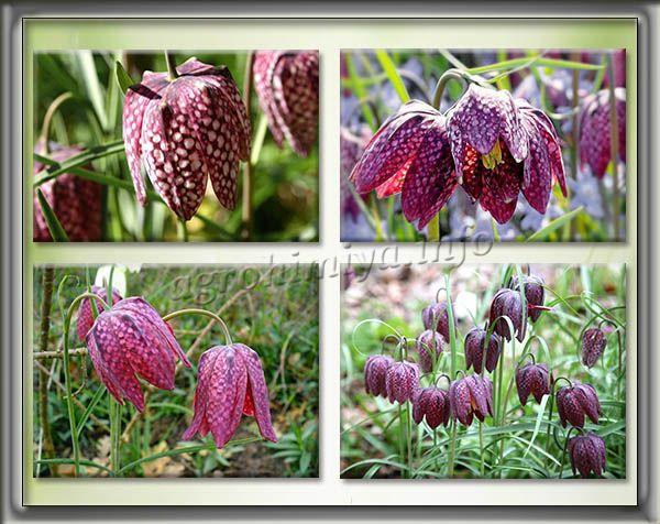 Фото Рябчика Шахматного (Fritillaria meleagris)