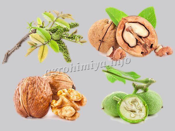 Фото этапов роста грецкого ореха от цветения до спелости