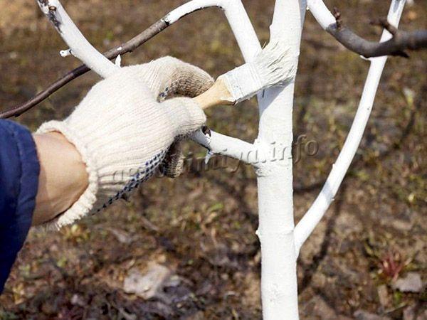 Фото побелки деревьев гашеной известью