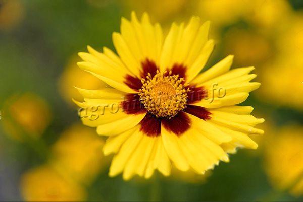 Фото цветка Кареопсиса (Coreopsis tinctoria)