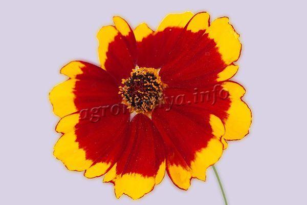 Фото цветка Кореопсиса Друммондии