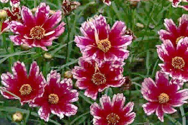 Фото цветов Кореопсис (Cranberry Ice)