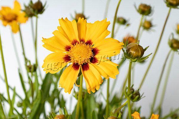 Фото цветов Кореопсиса (Coreopsis Sunfire)