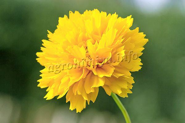 Фото желтого махрового Кареопсиса