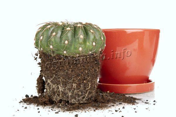 Горшок выбирается по размеру кактуса