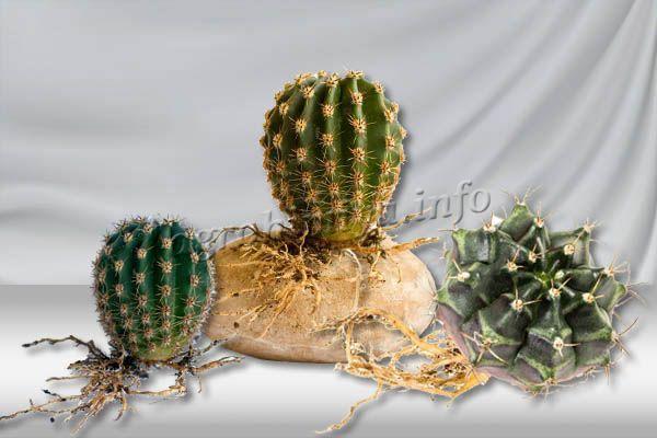 Когда кактус пустит корни, можно будет провести посадку на постоянное место в горшок с хорошим грунтом