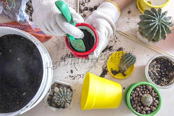 Когда отростки или взрослый кактус готов, необходимо начать пересадку
