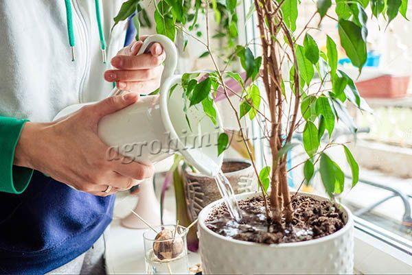 Когда в горшке скопилось много воды, корни просто сгнивают и растение начинает увядать