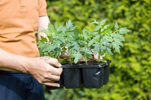 Когда земля в теплице или открытом грунте прогреется, можно высаживать рассаду на постоянное место