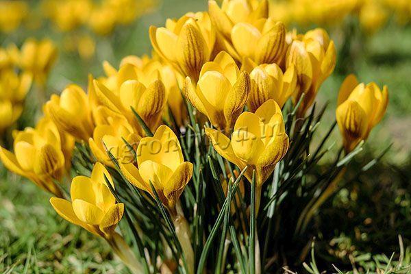 «Крокус золотистый» растет высотой 20 см