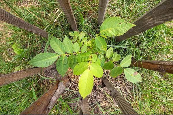 Мульчирование также необходимо, чтобы молодые деревья не страдали от недостатка воды и палящего солнца