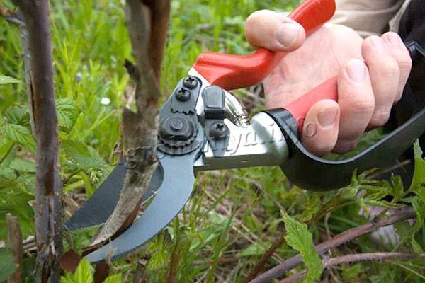 Обрезать можно ветви прямо под корень, так как эта малина дает большую часть урожая именно на однолетних веточках