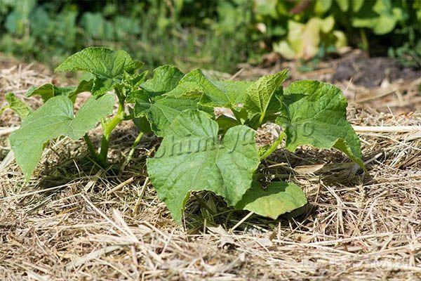 Огородники советуют мульчировать посадки, чтобы избежать перегревания грунта летом