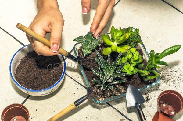 Пересадка кактуса – трудный и ответственный момент