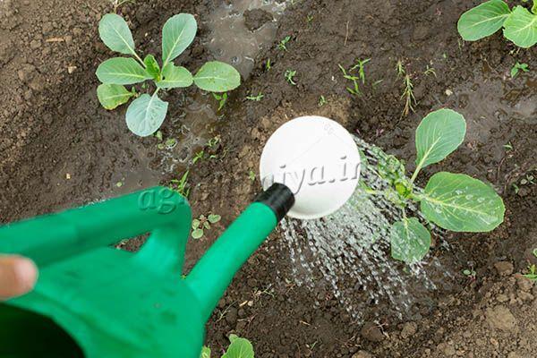 Полив капусты в первый месяц проводится раз в 3-4 дня