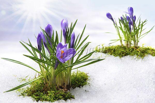 Поливы проводят весной в том случае, если зима была без снега и не идут дожди