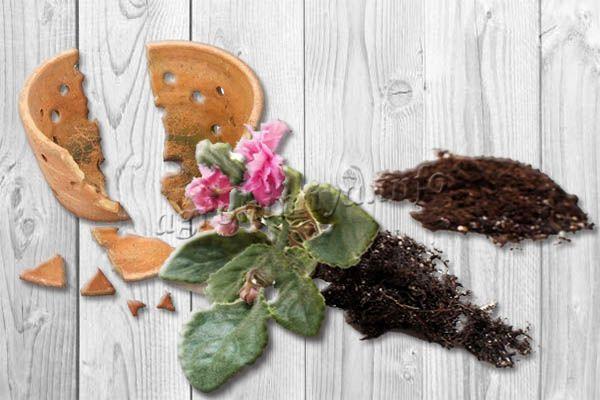 Причиной пересадки цветущей фиалки может быть разбитый горшок
