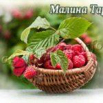 Сорт малины Таруса