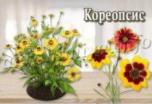 Цветок Кореопсис