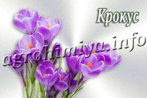 Цветок Крокус